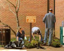 Planting pachysandra