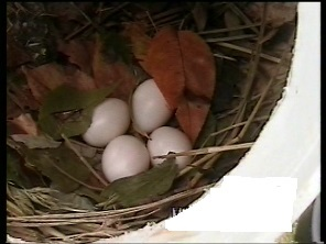 Purple martin eggs and nest inside gourd