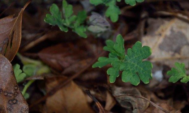 Woods Poppy