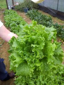 Lettuce from the hoop house in early April