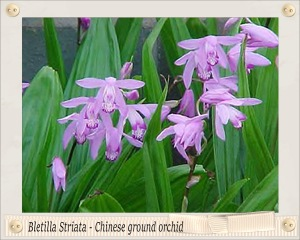 Bletilla Striata Chinese ground orchid