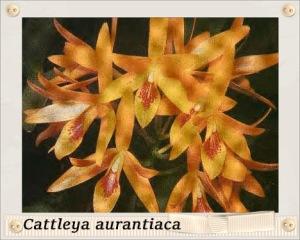 Cattleya aurantiaca