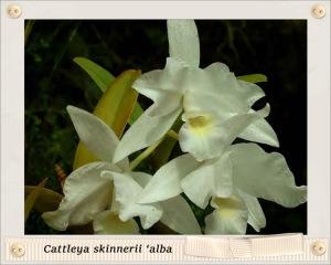 Cattleya skinnerii 'alba'