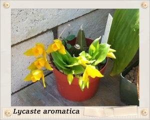 Lycaste aromatica