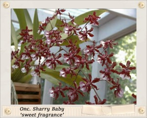 Onc. Sharry Baby 'sweet fragrance'