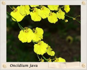 Oncidium java