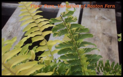 Tiger Fern, variation of Boston Fern