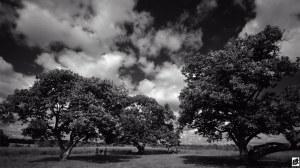 photo of chestnut trees