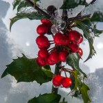 holly berry in snow